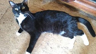 Domestic Shorthair Cat for adoption in Cherry Hill, New Jersey - Quasar