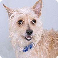 Adopt A Pet :: Cappy - Sudbury, MA