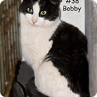 Domestic Shorthair Cat for adoption in Kendallville, Indiana - Bobby
