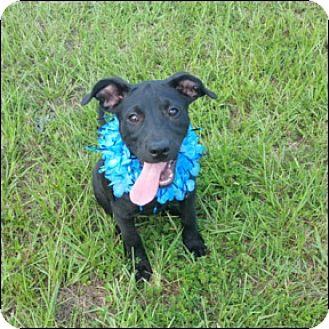 Labrador Retriever Mix Puppy for adoption in Shreveport, Louisiana - Pepper