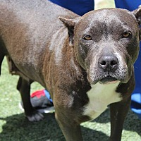 American Pit Bull Terrier Mix Dog for adoption in Los Angeles, California - Marina