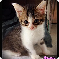 Domestic Shorthair Kitten for adoption in Hartford City, Indiana - Pooh