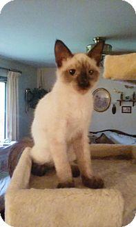 Siamese Kitten for adoption in Montello, Wisconsin - Barney