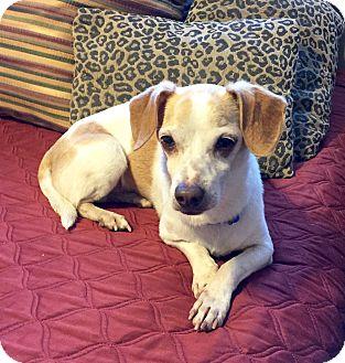 Dachshund/Beagle Mix Dog for adoption in calimesa, California - BENNY
