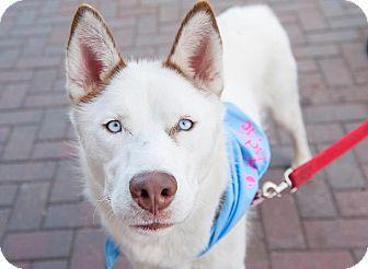 Husky Mix Dog for adoption in North Haledon, New Jersey - Casper
