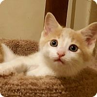 Domestic Shorthair Kitten for adoption in E. Claridon, Ohio - Jack