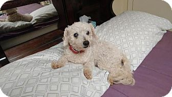 Poodle (Miniature) Dog for adoption in Roanoke, Virginia - Candy - currently in foster