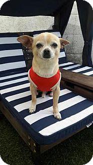 Chihuahua Mix Dog for adoption in Seattle, Washington - Ted E. Bear