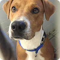 Adopt A Pet :: Peter the Great - Livonia, MI