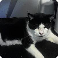 American Shorthair Cat for adoption in Medford, New York - Buddy