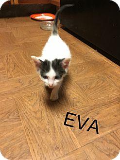 Domestic Shorthair Kitten for adoption in Greenville, Ohio - Eva