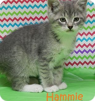 Domestic Mediumhair Kitten for adoption in Bucyrus, Ohio - Hammie Hamilton