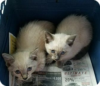 Siamese Kitten for adoption in Boynton Beach, Florida - Vance