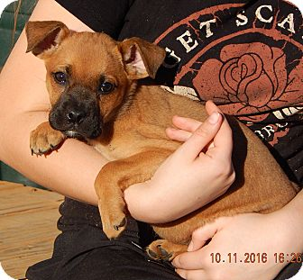 German Shepherd Dog/English Bulldog Mix Puppy for adoption in West Sand Lake, New York - Whirlwind (6 lb) Video!