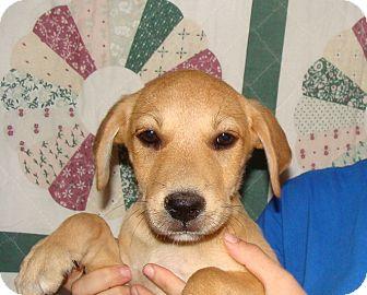 Labrador Retriever/Golden Retriever Mix Puppy for adoption in Oviedo, Florida - Star
