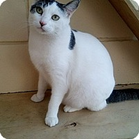 Domestic Shorthair Cat for adoption in San Diego, California - Callou