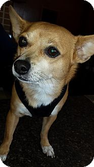 Chihuahua/Corgi Mix Dog for adoption in Youngstown, Ohio - Buddy
