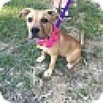 American Pit Bull Terrier/Labrador Retriever Mix Dog for adoption in Salisbury, North Carolina - Montana