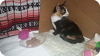 Calico Cat for adoption in Medford, New Jersey - Luci  (Jade's kitten)