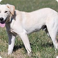 Labrador Retriever Mix Dog for adoption in Broken Arrow, Oklahoma - Levi White