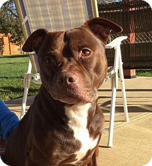 American Pit Bull Terrier/American Staffordshire Terrier Mix Dog for adoption in Dayton, Ohio - Memphis