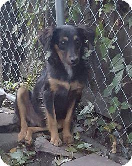 Sheltie, Shetland Sheepdog/Dachshund Mix Dog for adoption in Cleveland, Ohio - Romeo