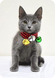 Domestic Shorthair Kitten for adoption in Dublin, California - Nadia
