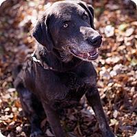 Adopt A Pet :: Bronson - Brattleboro, VT