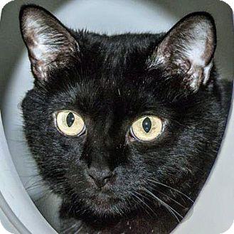 Domestic Shorthair Cat for adoption in Prescott, Arizona - Mouse