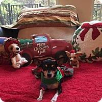 Adopt A Pet :: Saige - North Richland Hills, TX
