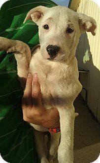 Labrador Retriever Mix Puppy for adoption in Aurora, Colorado - Travis