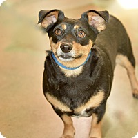 Dachshund Mix Dog for adoption in San Antonio, Texas - Misty