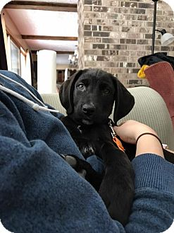 Chesapeake Bay Retriever/Hound (Unknown Type) Mix Puppy for adoption in Akron, Ohio - New Years Puppies