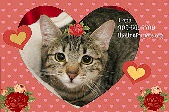 Domestic Shorthair Kitten for adoption in Monrovia, California - LENA