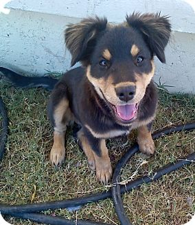 Rottweiler/German Shepherd Dog Mix Puppy for adoption in Gilbert, Arizona - Bella