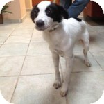 Border Collie/Terrier (Unknown Type, Small) Mix Dog for adoption in Madison, New Jersey - Phillipe