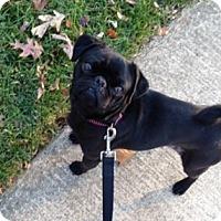Adopt A Pet :: Henry - Fairfax, VA