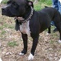Adopt A Pet :: Brutis - Justin, TX
