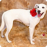 Adopt A Pet :: Scarlett - Bedford, TX