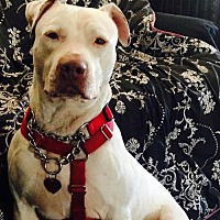 Adopt A Pet :: Jagger - Beverly Hills, CA