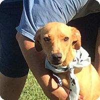 Adopt A Pet :: Derby - Albany, NY