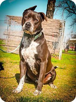 Pit Bull Terrier/Pointer Mix Dog for adoption in Lemoore, California - Buddy