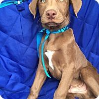 Adopt A Pet :: Ayden Adoption pending - Manchester, CT
