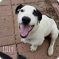 Adopt A Pet :: Lilly - West Hartford, CT