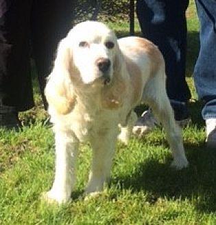 Cocker Spaniel Dog for adoption in Flushing, New York - Miracle