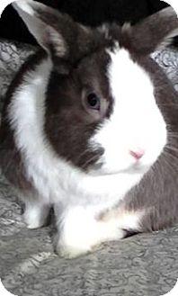 Netherland Dwarf Mix for adoption in Trenton, North Carolina - Dwarf Buck
