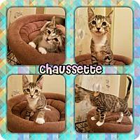 Adopt A Pet :: Chausette - Scottsdale, AZ
