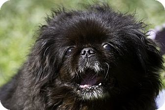 Pekingese Dog for adoption in Freeport, New York - Daisy Margherita