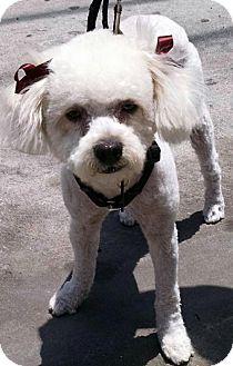 Poodle (Miniature) Dog for adoption in Los Angeles, California - Casper