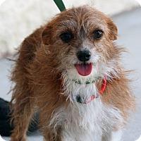 Adopt A Pet :: Lucy - Palmdale, CA